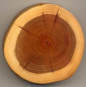 Cernes arbre